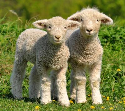 two-cute-lambs